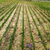 डिआरएस प्रविधिमा लगाइएको धान खेती(फोटोफिचर)