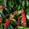 कफी खेतीमा ताप्लेजुङका युवा पुस्ताको आकर्षण
